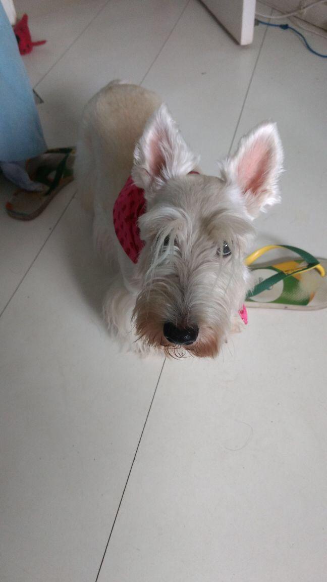 Fazendo cara de Cachorro sem dono #yuki #yukituristainsolita #dog #scottishterrier #wheatscottie #cachorro  #pet #pets #petsofinstagram #petsgram #instapuppy #cute #instacute #instapet #puppylove #puppygram #scotties #terrier #scottishterriersofinstagram #puppiesofinstagram #scottieobsessed #scottiegram #scottishterribles ⠀ ⠀ http://bitsmag.com.br/category/vlog/yuki