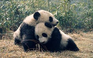 Pandas playing in Sichuan province / ©: Susan A. Mainka / WWF