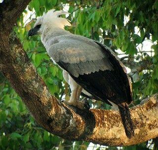 L'aquila arpia, uno degli uccelli piú belli e rari esistenti. Apertura alare di oltre 2 metri. Habitat foresta pluviale, nidifica sugli alberi piú alti che svettano tra la fitta vegetazione.