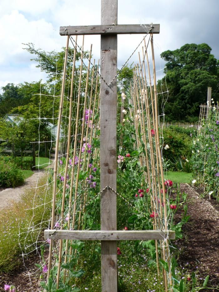 Vertical Cutting Garden: Onward and upward: sweet peas are easy to access when ranged against netting at regular intervals.