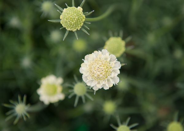 Buy small scabious Scabiosa columbaria subsp. 'ochroleuca': Delivery by Crocus.co.uk