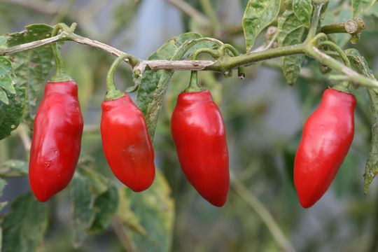 "Capsicum pubescens ""Rocoto"" ""Tree Pepper"" from Annie's Annuals."