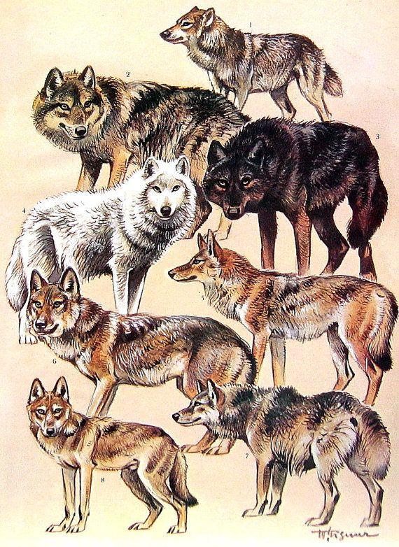 Animal Print - Japanese Wolf, Tundra Wolf, Mongolian Wolf, Coyote, Jackal - 1968 Vintage Print - Mammals from Encyclopedia