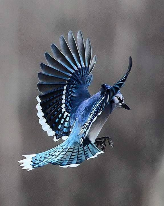 Blue Jay by Heather Bashow