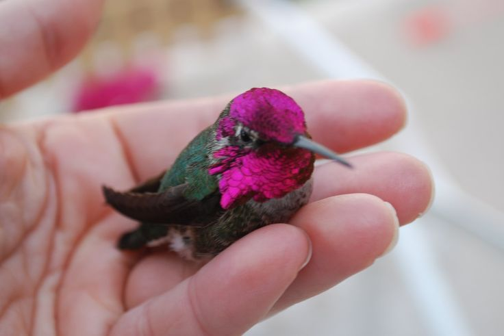 Images For > Images Of Baby Hummingbirds | Birds ...