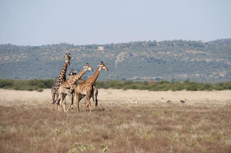 Gracieuze giraffen