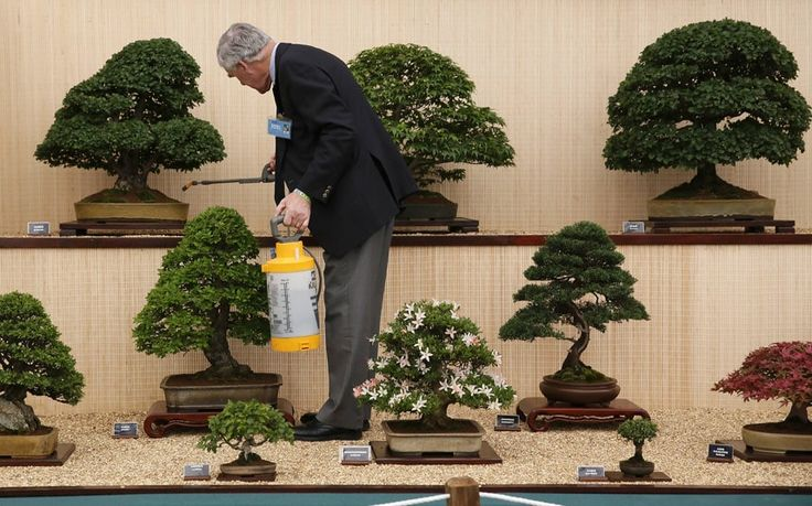 A man tends bonsai trees during media day at the Chelsea Flower Show