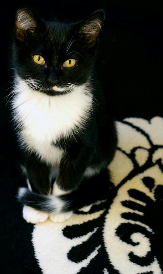 """(*^^*) Tuxedo cat. """"My dear, I'm a cat. Everything I see is mine...."""" Rick Riordan, The Red Pyramid"""