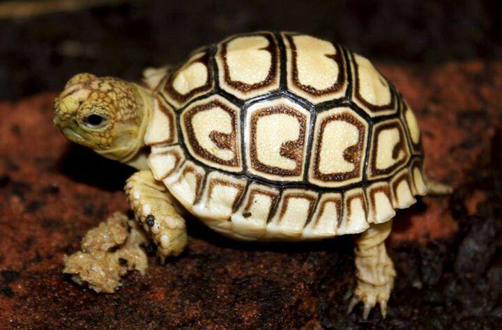 ♥ Pet Turtle ♥  Leopard Tortoise turtle