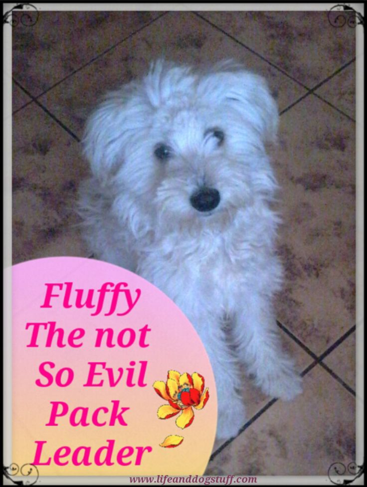 Check out Fluffy the Not So Evil Pack Leader blog post! My puppy Fluffy is at it again! Watch out humans!