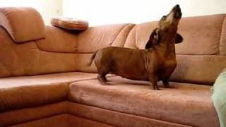 Angry Doxie!