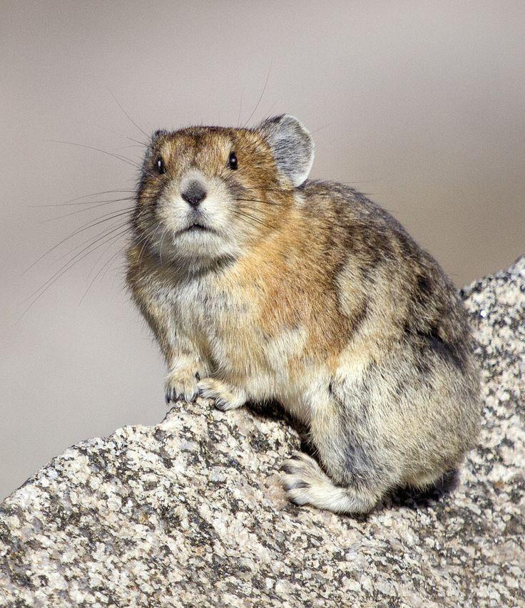 103 Best Meerkat, Pairie Dog, Marmot, Ground Hog Images On