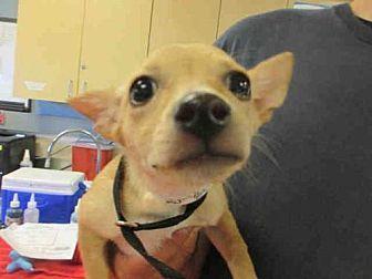 Jurupa Valley, CA - Chihuahua. Meet Dog, a puppy for adoption. http://www.adoptapet.com/pet/19404161-jurupa-valley-california-chihuahua