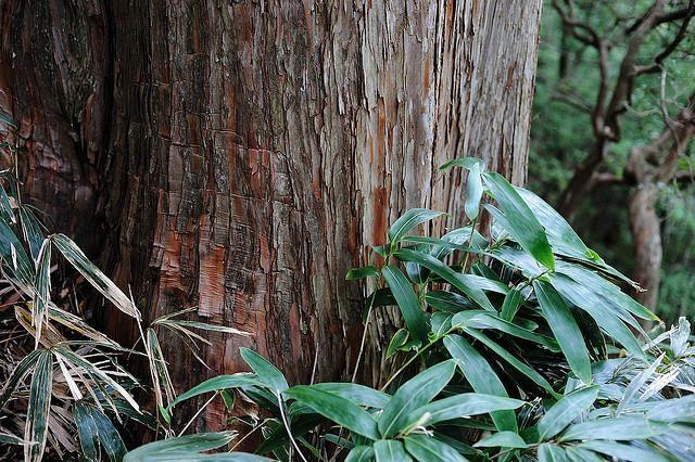 木にはそれぞれ性質があります。値段が高ければ良材で安ければ悪いということはありません。木の性質を理解した上でそれぞれ得意分野を受け持ってもらえばよいのです。土台・柱は乾燥しやすく腐りにくいヒノキの芯持ち材の赤身を使うべきで(石川県には能登アテなどの良材があります)、横架材には腰の強い米松などを使えば胴振れに強い長持ちする家になります。「適材適所」とは建築現場での木材の使い分けがその語源です。最近、適材適所を全く考えず防腐剤の注入や人的に加工を加えた木材の使用がよく見られます。材木屋の立場からすればヒノキを使うことがそれほど大きなコストアップに繋がるとは思えません。そこには建築業者側の都合が見え隠れするのです。※写真:加子母裏木曽国有林 二代目大ヒノキ
