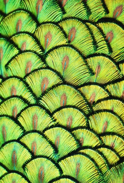 """""""Peacock Scales"""". Photo by Michael Fitzsimmons.#green"""
