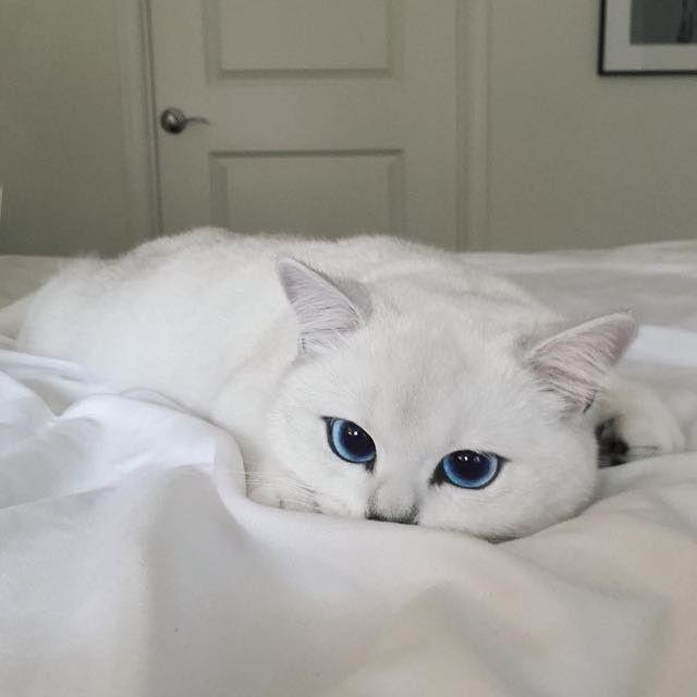 Gato de olhos azuis causa alvoroço na internet | Catraca Livre