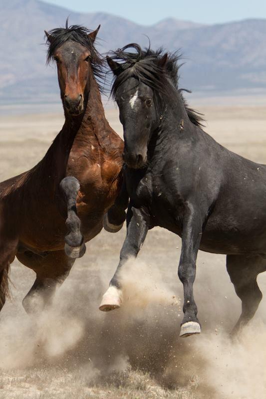 Wild Mustangs - Fabulous action shot in the Great Basin Desert, Utah. - photo by Kent Keller