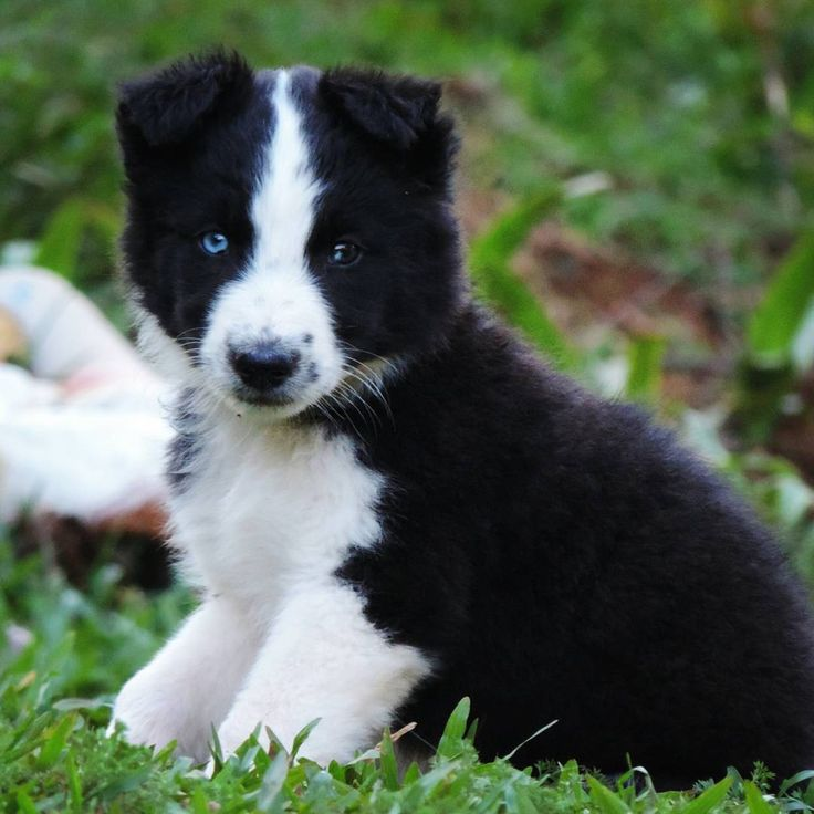 """81 curtidas, 2 comentários - Jessica Gabriela Edel 🍁 (@jess_edel) no Instagram: """"Sim, eu vou lotar meu Insta com fotos de meus dogs. ♥️😀 . #dog #puppies #blueeyes #cachorro #cão…"""""""