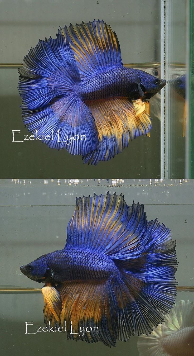 1000 Images About Betta On Pinterest