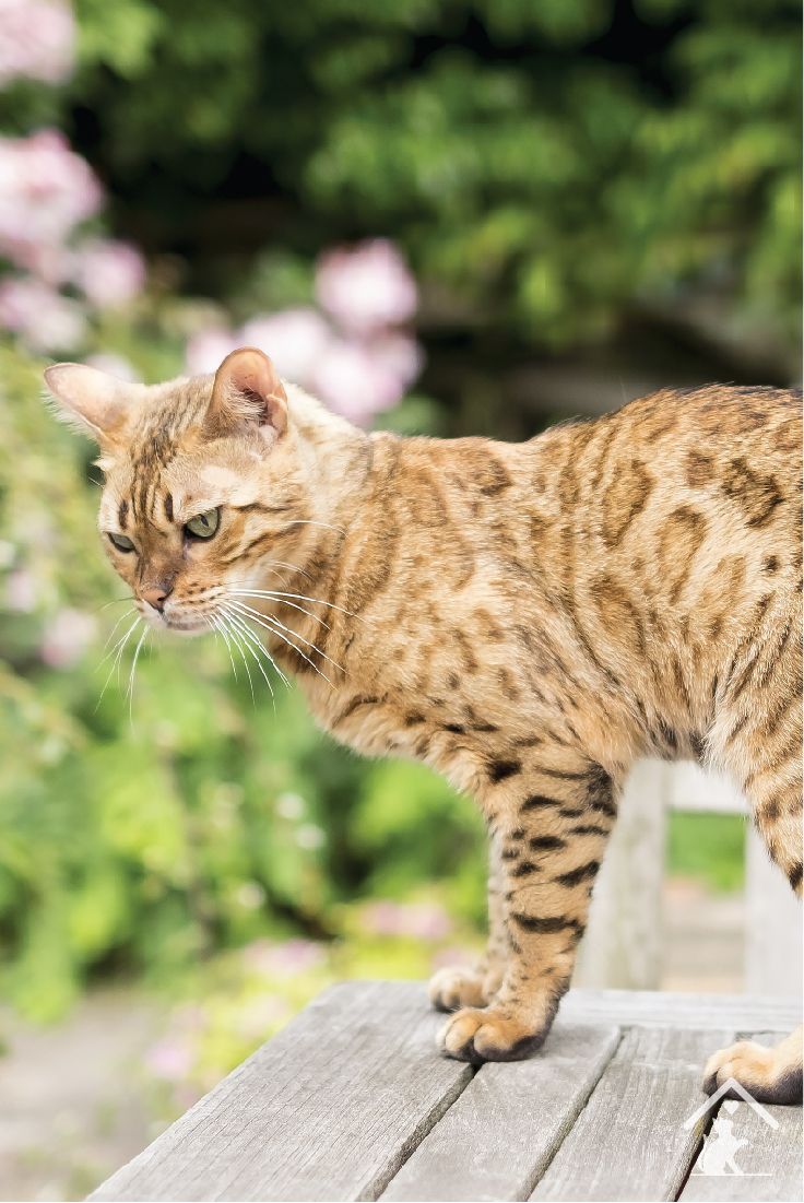 Bengal cats can have rosette or marble patterns on their coat. Click the pin to learn more! #rosettecoat #exoticcat