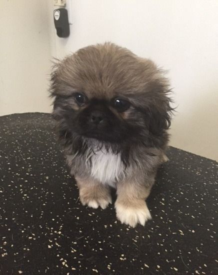 kniytytyt family.vocalizes Pekingese Puppies For Sale,,Please Text At,480 x 331 x5043.For More Info And pics.