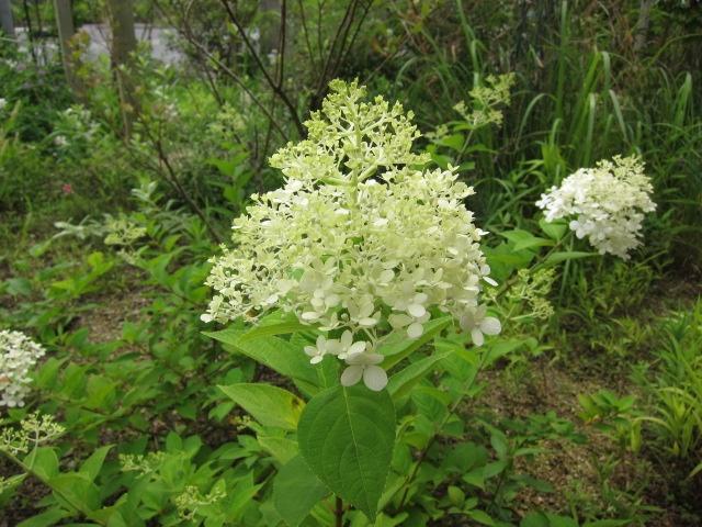 Hydrangea paniculata Linelight ノリウツギ ライムライト http://berryslife.com