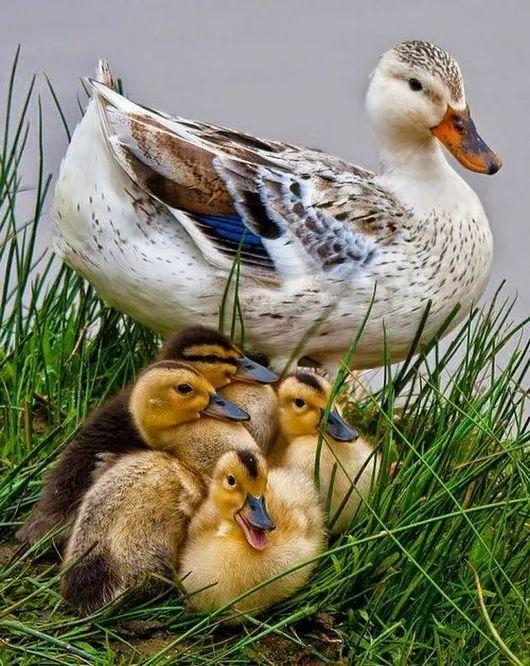 фото домашних птиц с детенышами нем весь витаминный