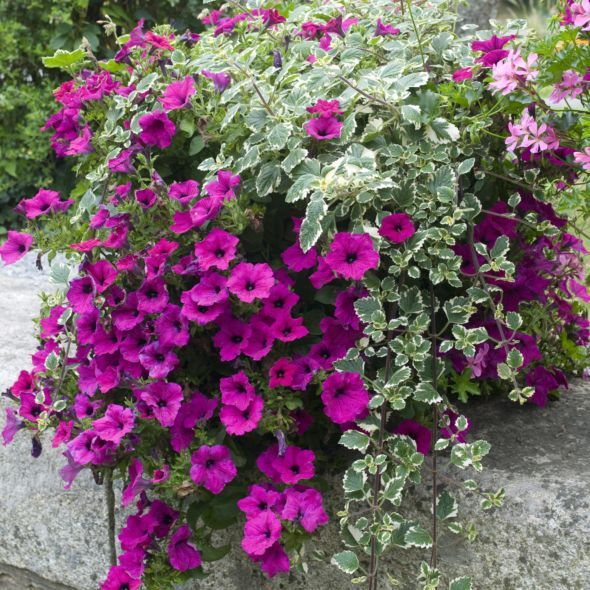 Petunia Retombant Pourpre Container Flowers Petunia Plant Petunias