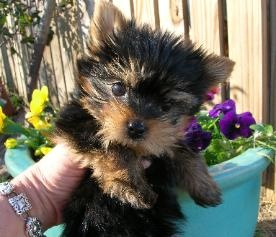 teacup Yorkie puppies for sale in Georgia