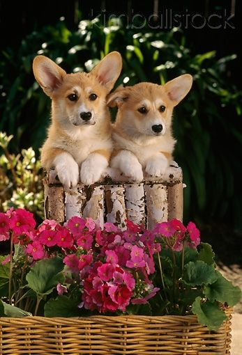 PUP 30 RC0004 01 - Two Welsh Corgis Resting On Logs In Garden By Pink Flowers In Wicker Basket - Kimballstock