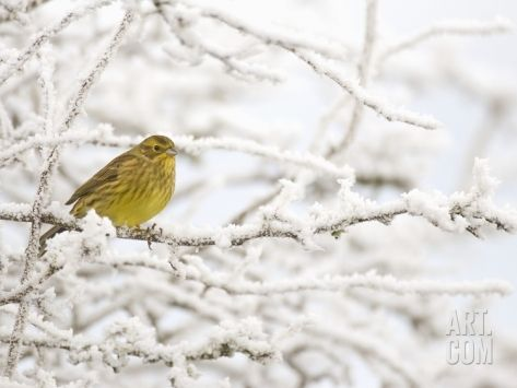 Adult Female Yellowhammer Perched on Frost Covered Branches Photographic Print by Andrew Parkinson at Art.com