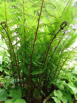 Athyrium filix-femina, Lady fern. I must have spores in the yard, as it is popping up this year in areas I did not plant. Very beautiful red stems.
