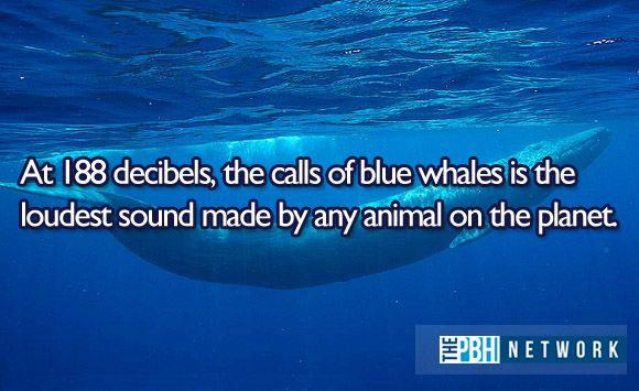 At 188 decibels, the calls of blue whales is the loudest sound made by any animal on the planet.