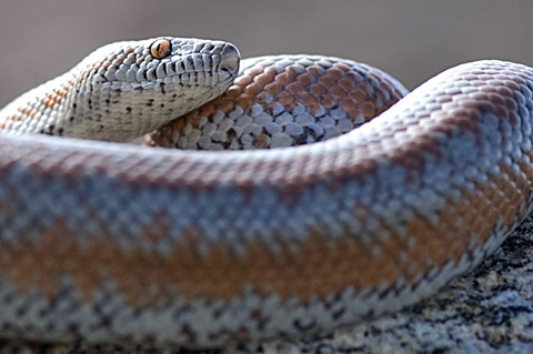Rosy Boa, a small, slow, nonvenomous snake, popular as a pet snake.