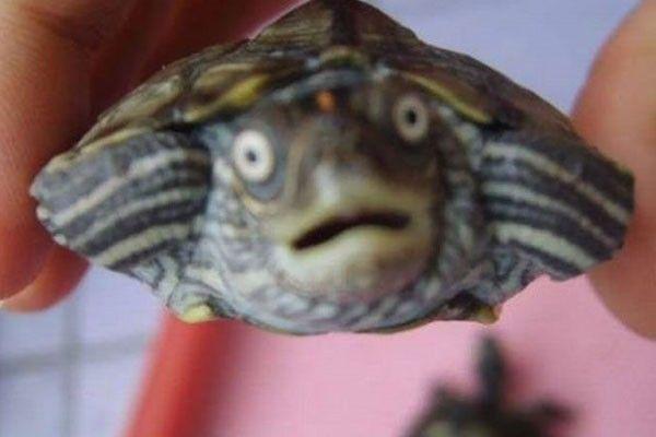 Una tortuga asustada