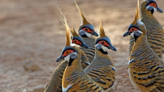 Spinifex pigeons at Purnululu National Park, Western Australia