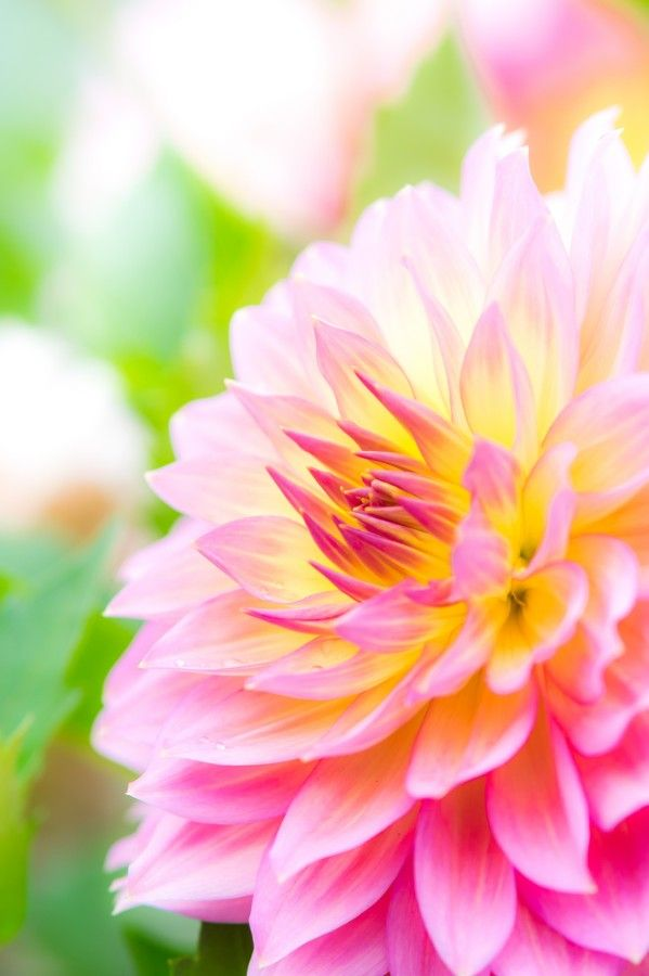 ~~embraceable you • dahlia macro by flowers voices~~