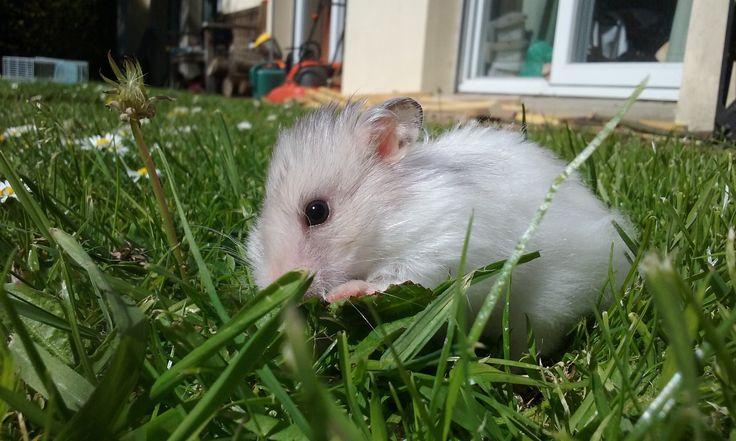 PANDAA hamster syrien
