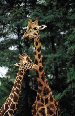 As girafas vivem em rebanhos com seus filhotes, enquanto os machos são solitários . Vagam de bando em bando procurando por fêmeas férteis .