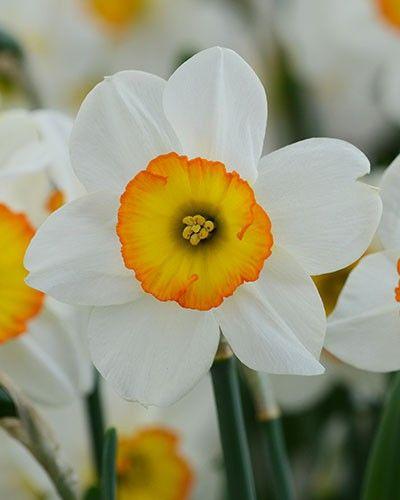 Daffodil Flower Record