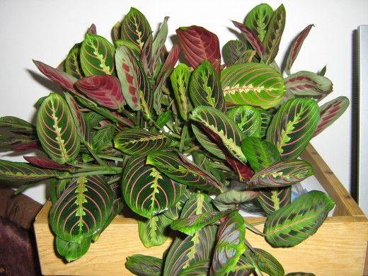 Почему сохнет маранта?  Маранта — очень интересное, но, к сожалению, требовательное растение. Но если вы готовы удовлетворять ее капризы, она отблагодарит вас очень красивыми листьями. Фото: © elka52