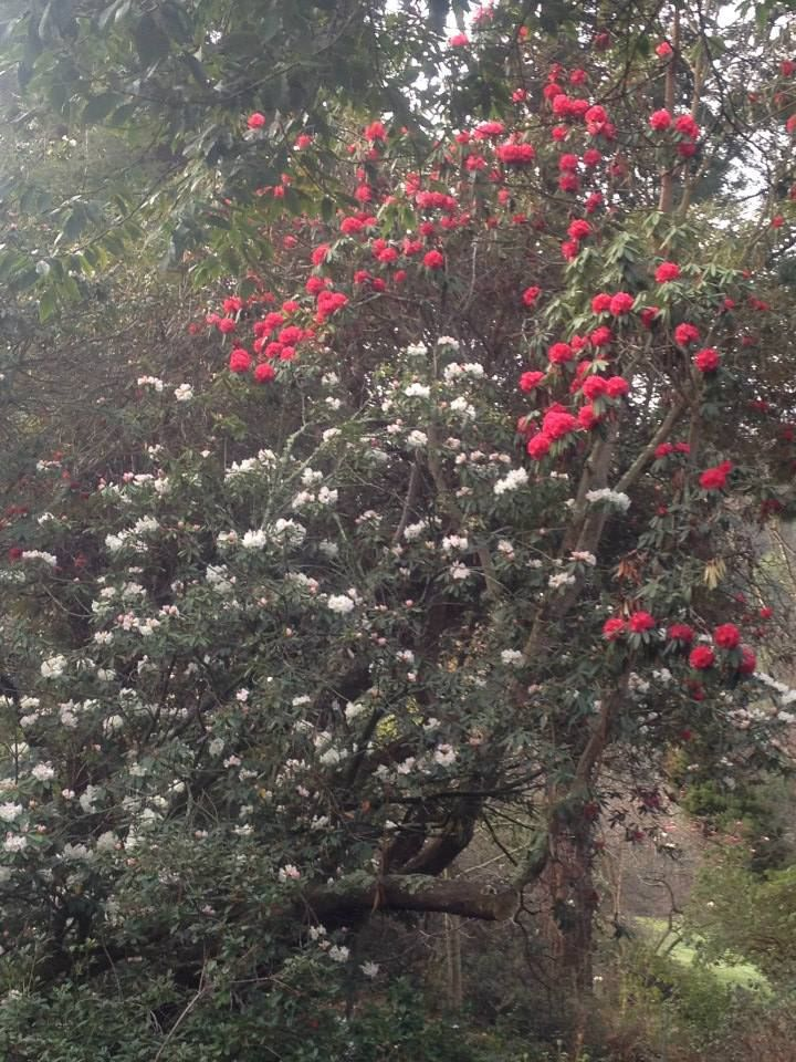 Rhododendrons, Including Our Logo Plant, The Red R. Arboreum, Growing In The