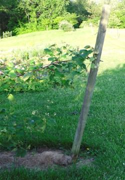 Growing Grapes - Making an Arbor or Trellis - My arbors consist of end posts set in the ground at about 30° angles leaning away from the grape vines. These posts will bear most of the lateral (inward pull) weight of your growing grapes. Setting them at an angle translates part of the inward pull on the end posts into downward force.