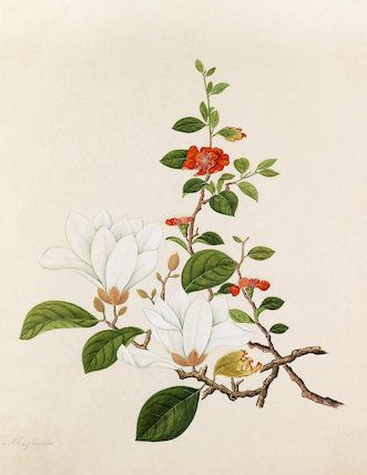 Watercolour on paper I Unknown Japanese artist from an album titled 'Plantae Icones Japonicae' formerly owned by Reginald Cory (1871-1934)
