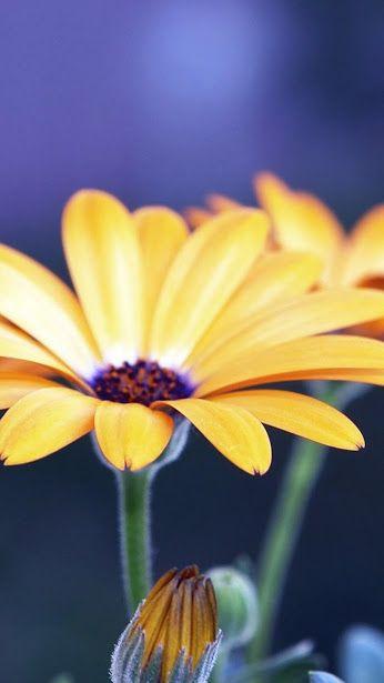 Rubdeckia Yellow Flower ♥g♥