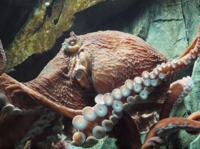 Pieuvre géante du Pacifique - Le règne animal
