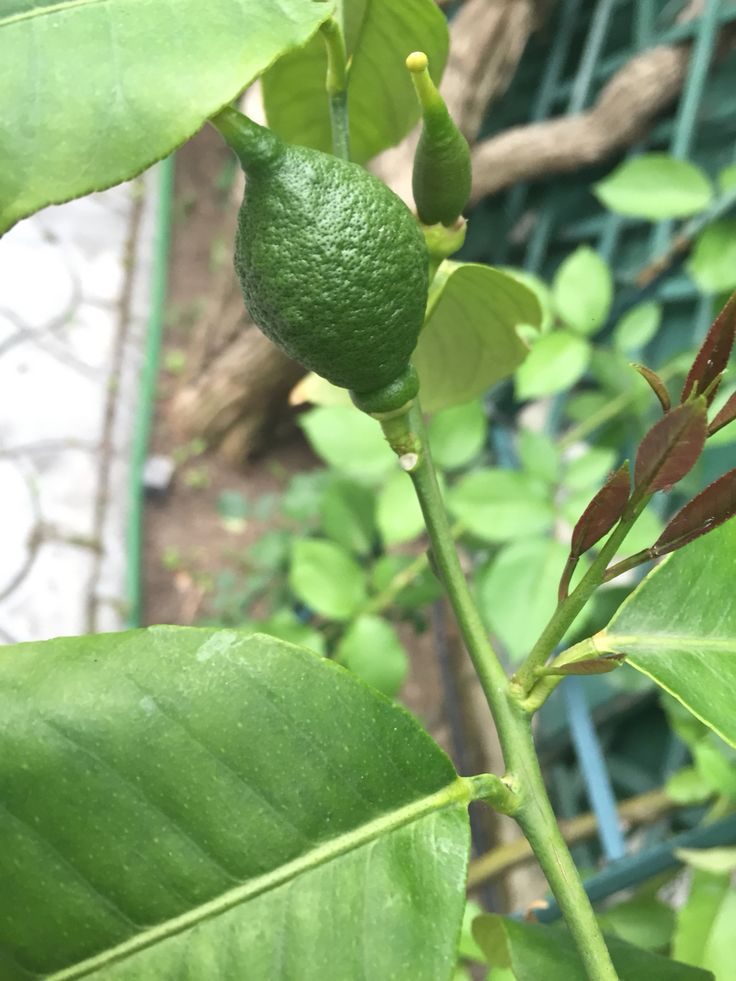 That will become a yellow Lemon in a couple of months!