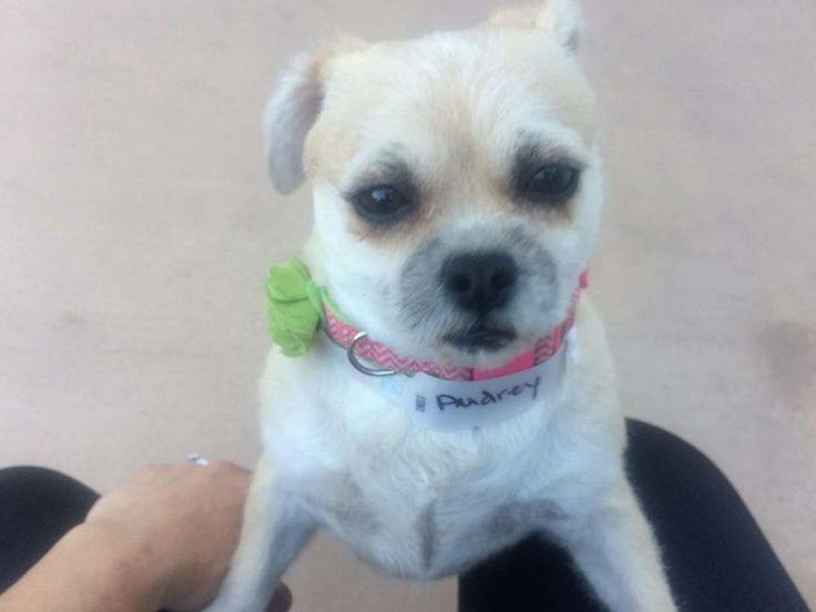 Brug dog for Adoption in Alta Loma, CA. ADN-395882 on PuppyFinder.com Gender: Female. Age: Young