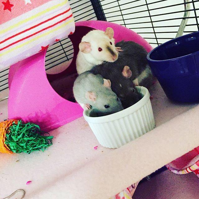 Don't rush there is enough for everyone  #dumborat #babyrat #instarat #siamese #petrat #petbed #tube #mouse #mice #hamster #pouch #hammock #rats #rattiegram #ratties #rattie #gerbil #chinchilla #etsyshop #etsyseller #gerbil #chinchilla #guineapig #ratstagram #ratcommunity #hammock #bed #instaferret #ratsofinstagram #cage #ratsofig #handmade #handmadewithlove
