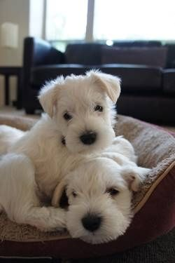 WHITE Miniature Schnauzer Pups *** | Just look at Cute ...